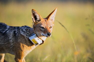 Black-backed Jackal (Canis mesomelas) with collar, Golden Gate Highlands National Park, South Africa
