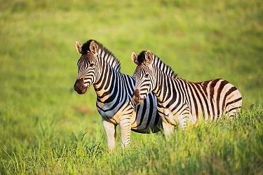 Burchell's Zebra (Equus burchellii) pair, Golden Gate Highlands National Park, South Africa