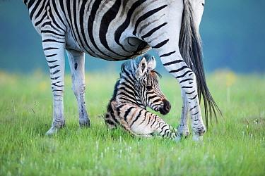 Burchell's Zebra (Equus burchellii) mother and foal, Golden Gate Highlands National Park, South Africa
