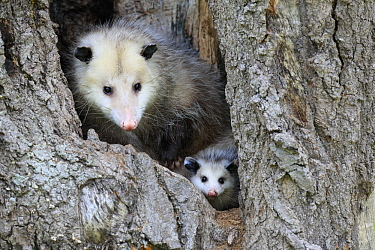 Virginia Opossum (Didelphis virginiana) mother and young in tree, Minnesota Wildlife Connection, Minnesota