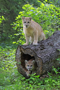 Mountain Lion (Puma concolor) juveniles, Minnesota Wildlife Connection, Minnesota