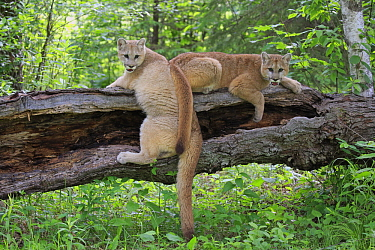 Mountain Lion (Puma concolor) juveniles on log, Minnesota Wildlife Connection, Minnesota