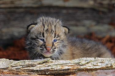 Bobcat (Lynx rufus) kitten, Minnesota Wildlife Connection, Minnesota