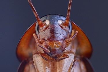 American Cockroach (Periplaneta americana), 2.1x magnification, Barcelona, Spain