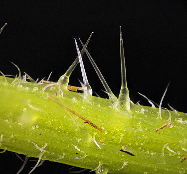 Stinging Nettle (Urtica dioica) trichomes, 13x magnification, Barcelona, Spain