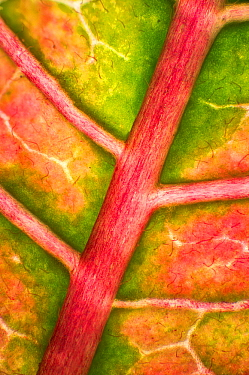 Poinsettia (Euphorbia pulcherrima) leaf, 2x magnification, showing rib and veination, Barcelona, Spain