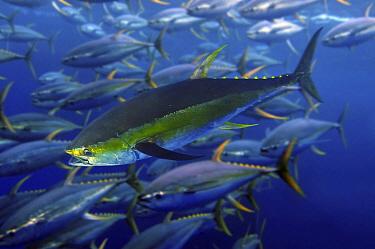 Yellowfin Tuna (Thunnus albacares) school, Azores, Portugal