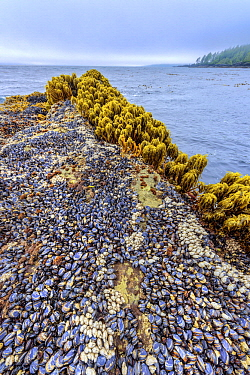 Sea Palm (Postelsia palmaeformis) group and mussels in intertidal zone, Botanical Beach Provincial Park, Vancouver Island, British Columbia, Canada
