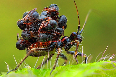 Assassin Bug (Acanthaspis petax) carrying ant carcasses on back for camouflage, Malaysia