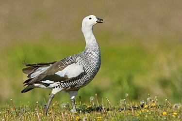 Upland Goose (Chloephaga picta) male feeding on grass, Argentina