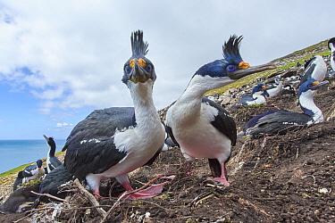 Blue-eyed Cormorant (Phalacrocorax atriceps) pair courting in nesting colony, Falkland Islands
