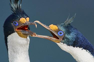 Blue-eyed Cormorant (Phalacrocorax atriceps) pair courting, Falkland Islands