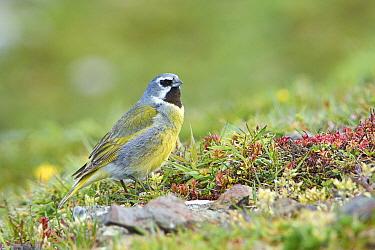 Canary-winged Finch (Melanodera melanodera), Falkland Islands