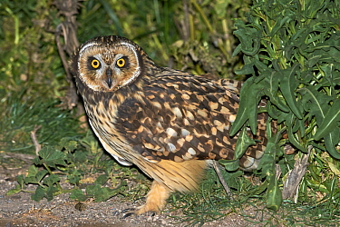 Short-eared Owl (Asio flammeus) at night, Buenos Aires, Argentina