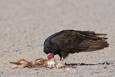 Turkey Vulture (Cathartes aura) feeding on Patagonian Mara (Dolichotis patagonum) carcass, Chubut, Argentina