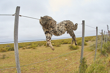 Geoffroy's Cat (Leopardus geoffroyi) hanging on fence after being killed by farmers, Chubut, Argentina