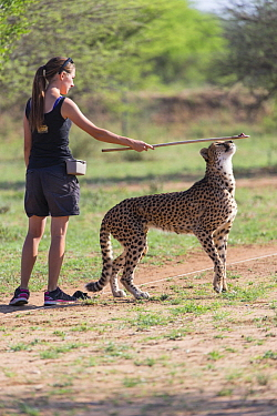 Cheetah (Acinonyx jubatus) being trained by staff member to be an ambassador, Cheetah Conservation Fund, Namibia