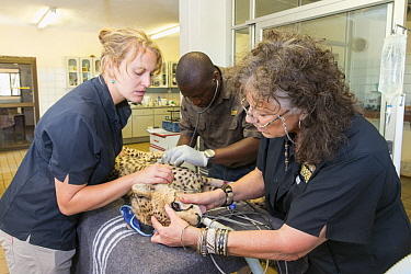 Cheetah (Acinonyx jubatus) conservationist, Laurie Marker, examining rescued cheetah, Cheetah Conservation Fund, Namibia