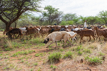 Anatolian Shepherd (Canis familiaris) livestock guarding dog, with Domestic Goat (Capra hircus) herd to protect them from predators, Cheetah Conservation Fund, Namibia