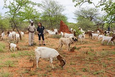 Anatolian Shepherd (Canis familiaris) livestock guarding dog, with Cheetah (Acinonyx jubatus) conservationist, Laurie Marker, and staff member in Domestic Goat (Capra hircus) herd, Cheetah Conservatio...