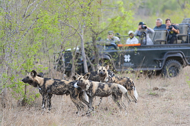 African Wild Dog (Lycaon pictus) watched by tourists, Sabi Sands Private Game Reserve, South Africa