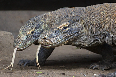 Komodo Dragon (Varanus komodoensis) pair flicking tongues, Komodo National Park, Indonesia