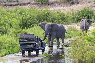 African Elephant (Loxodonta africana) in defensive posture towards safari vehicle, Sabi Sands Private Game Reserve, South Africa