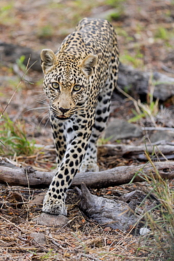 Leopard (Panthera pardus) female, Sabi Sands Private Game Reserve, South Africa
