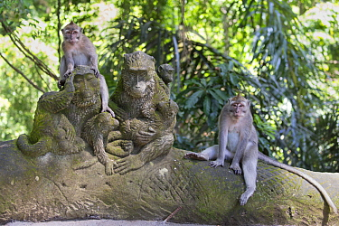Long-tailed Macaque (Macaca fascicularis) pair at temple, Monkey Forest Ubud, Bali, Indonesia