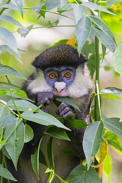 Red-tail Monkey (Cercopithecus ascanius) feeding on leaves, Kibale National Park, Uganda