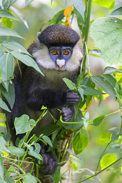 Red-tail Monkey (Cercopithecus ascanius) in tree, Kibale National Park, Uganda