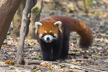 Lesser Panda (Ailurus fulgens), Chengdu Panda Breeding and Research Center, Chengdu, China