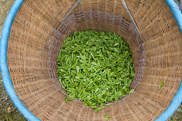 Harvested tea, Ya'an, Sichuan, China