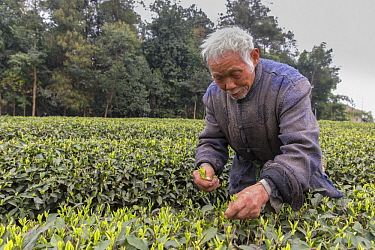 Tea plantation worker picking leaves, Ya'an, Sichuan, China