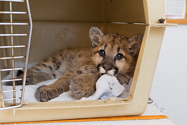 Mountain Lion (Puma concolor) three-month-old orphaned cub in carrier, Sonoma County Wildlife Rescue, Petaluma, California