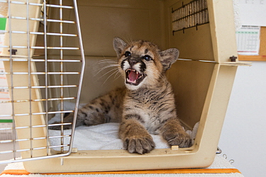 Mountain Lion (Puma concolor) three-month-old orphaned cub snarling in carrier, Sonoma County Wildlife Rescue, Petaluma, California