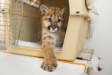 Mountain Lion (Puma concolor) three-month-old orphaned cub emerging from carrier, Sonoma County Wildlife Rescue, Petaluma, California
