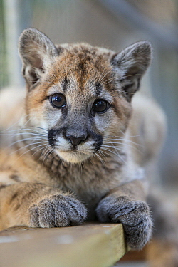 Mountain Lion (Puma concolor) three-month-old orphaned cub, Sonoma County Wildlife Rescue, Petaluma, California