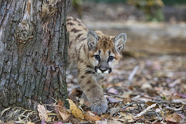 Mountain Lion (Puma concolor) three-month-old orphaned cub, Sonoma County Wildlife Rescue, Petaluma, California