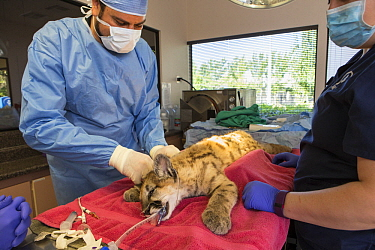 Mountain Lion (Puma concolor) veterinarian, Dan Famini, performing medical exam on three-month-old orphaned cub, Sonoma County Wildlife Rescue, Petaluma, California