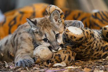 Mountain Lion (Puma concolor) four-month-old orphaned cub playing with toy for enrichment and exercise, Sonoma County Wildlife Rescue, Petaluma, California