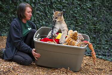 Mountain Lion (Puma concolor) rehabilitor, Doris Duncan, playing with four-month-old orphaned cub, Sonoma County Wildlife Rescue, Petaluma, California