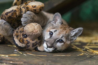 Mountain Lion (Puma concolor) four-month-old orphaned cub playing with toy, Sonoma County Wildlife Rescue, Petaluma, California