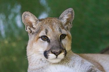 Mountain Lion (Puma concolor) four-month-old orphaned cub, Sonoma County Wildlife Rescue, Petaluma, California