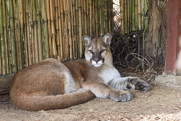 Mountain Lion (Puma concolor) sub-adult, Sonoma County Wildlife Rescue, Petaluma, California