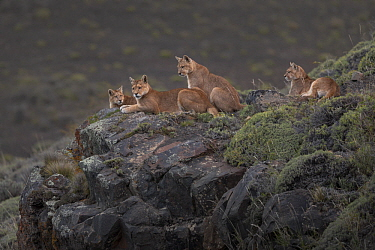 Mountain Lion (Puma concolor) mother and cubs, Torres del Paine National Park, Patagonia, Chile