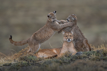 Mountain Lion (Puma concolor) mother and four month old cubs playing, Torres del Paine National Park, Patagonia, Chile