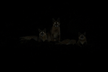 Mountain Lion (Puma concolor) mother and cubs at night, Torres del Paine National Park, Patagonia, Chile