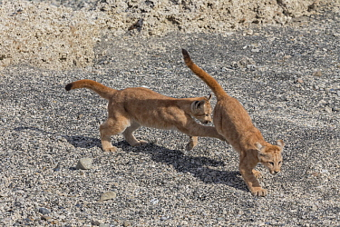 Mountain Lion (Puma concolor) young cubs playing, Torres del Paine National Park, Patagonia, Chile
