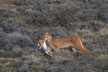 Mountain Lion (Puma concolor) female carrying European Hare (Lepus europaeus) prey, Torres del Paine National Park, Patagonia, Chile